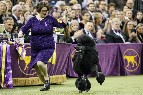 How to watch the Westminster Kennel Club Dog Show tonight (6/12/21): time, channel, stream