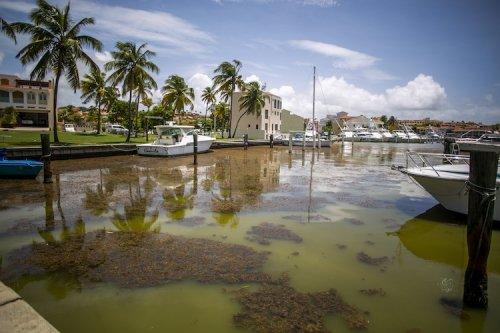 Puerto Rico Lacks Direction to Manage Sargassum Problem