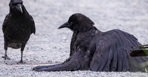 Photographer Captures Rare Sight of Crow Taking an Ant Bath
