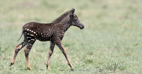 Photos of a Rare Polka-Dotted Baby Zebra Spotted in Kenya