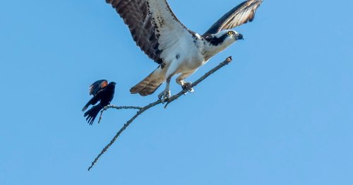 Photographer Snaps Bird Catching a Ride on Bigger Bird's Stick