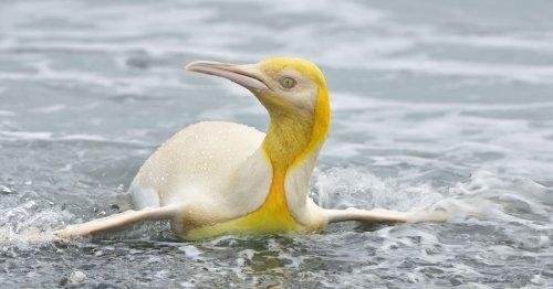 Wildlife Photographer Captures 'Never Before Seen' Yellow Penguin