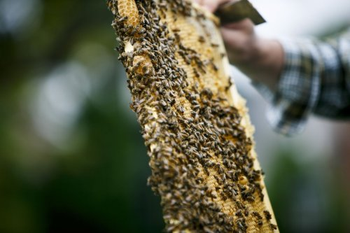 Virginia Beach's Cavalier Hotel chief engineer is also beekeeper, making a buzz about the little engineers themselves