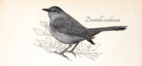 The Gray Catbird—a Natural Mimic - Pittsburgh Quarterly