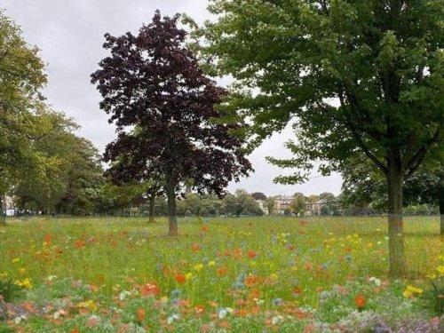 Stray wildflowers planting to start tomorrow