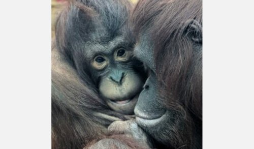 Two critically endangered orangutans arrive at Colchester Zoo