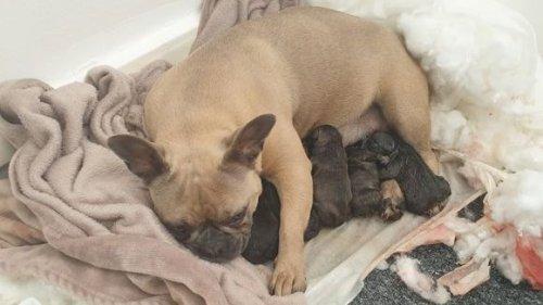 Dog stolen from Devon found giving birth to pups in Manchester