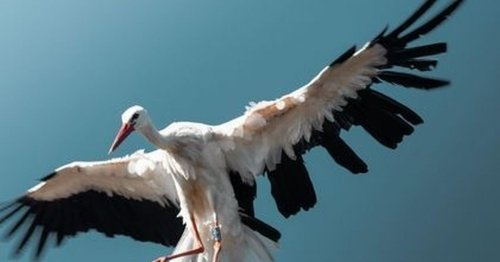 Rare sighting of white stork on a chimney in Whitleigh