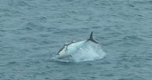 Huge tuna filmed launching into the air off Cornwall