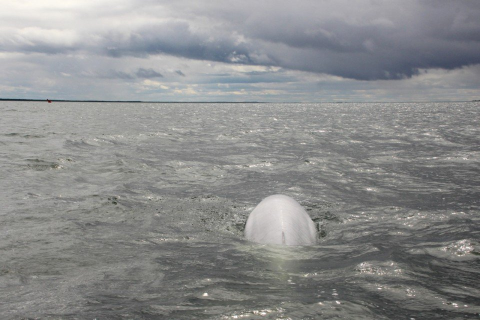 Swimming with Beluga Whales in the Wild