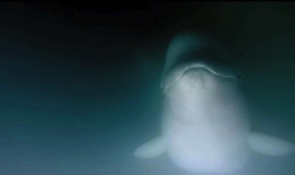 Kayaking with Belugas in Canada!