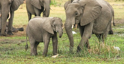 More than 350 elephants died in Botswana, and we may finally know why