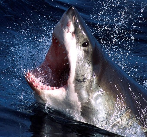 Shark Attacks Are So Unlikely, But So Fascinating