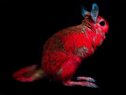 Nobody painted these glowing pink springhares—their Day-Glo is all natural