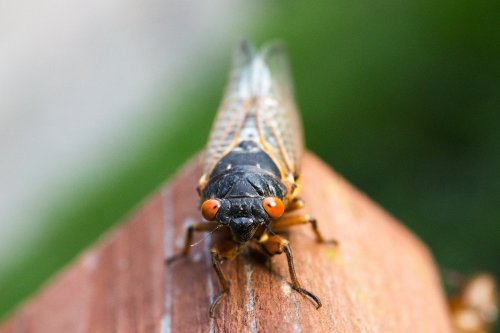 What we know—and don't know—about Brood X cicadas