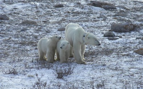For polar bears contending with climate change, it's 'survival of the fattest'