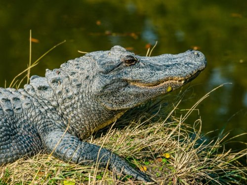 How to survive an alligator encounter | Popular Science