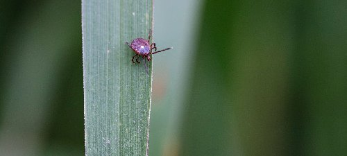 A guide to the tick species every American should know