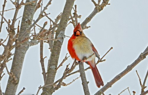 4 unexpected facts about the Northern cardinal, a bird you should know better