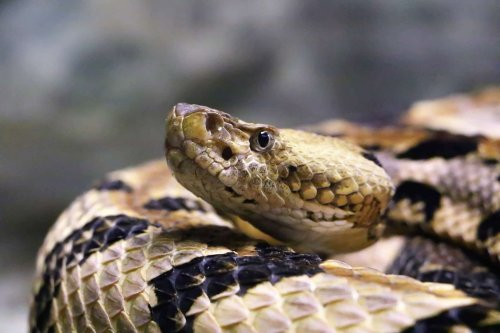 The best remedy for a snakebite: carry car keys