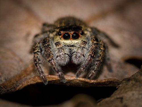 Jumping spiders have a mysterious nighttime habit