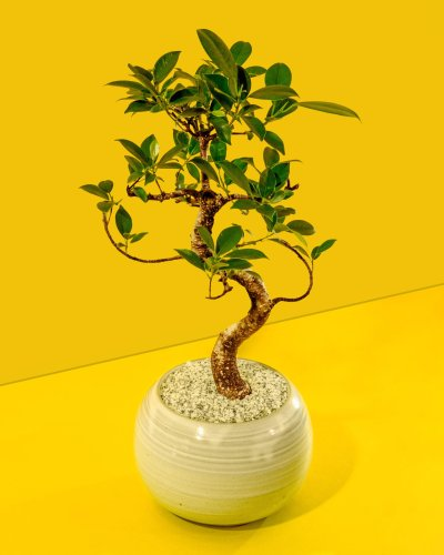 The beauty and science of growing bonsai
