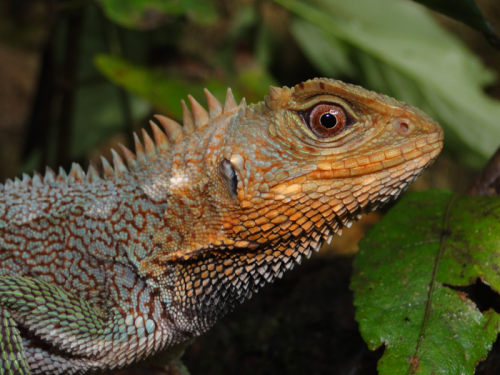 This rainbow-scaled lizard lived anonymously in the Andes—until now
