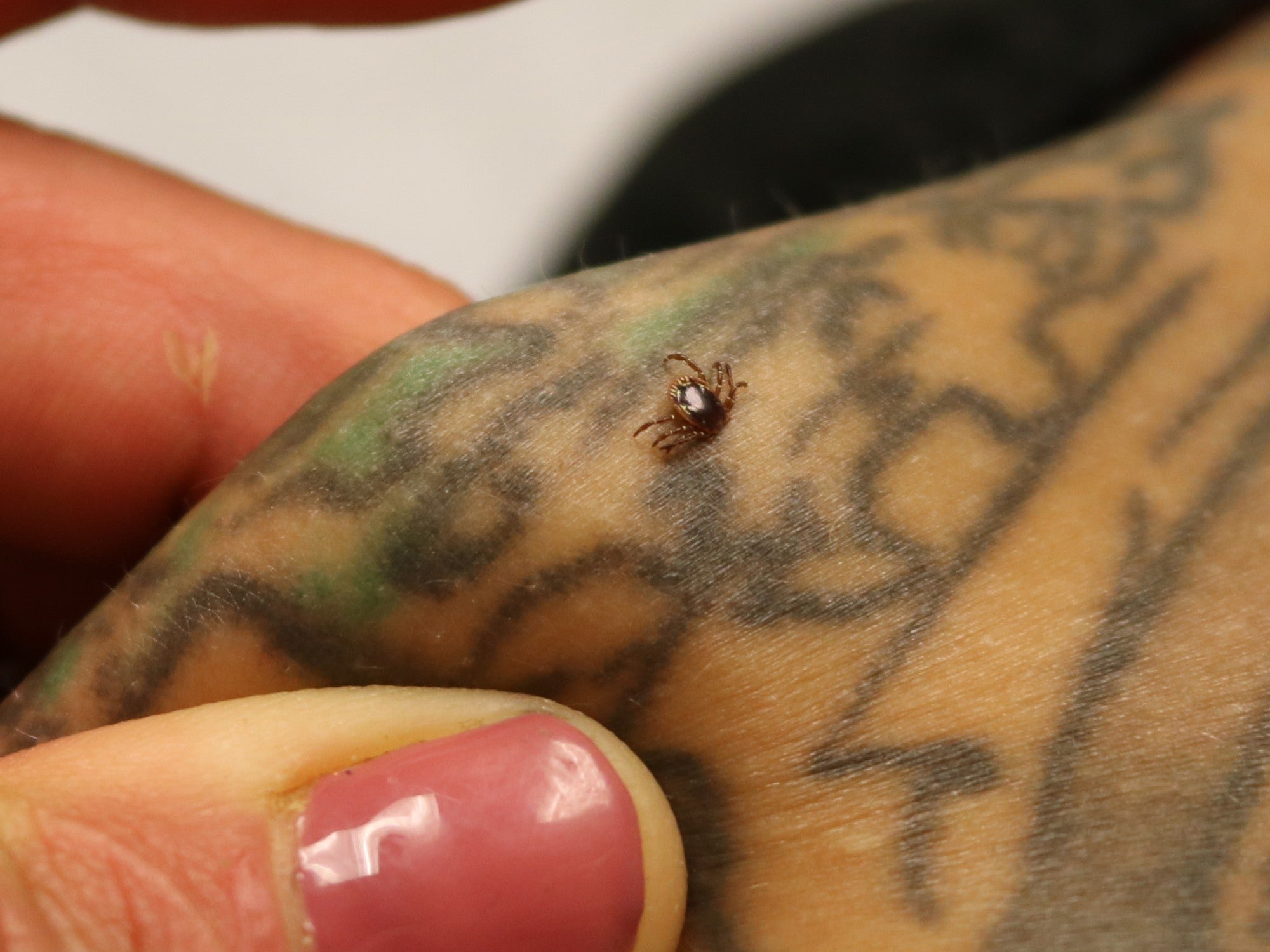 Ticks that cause red meat allergies are spreading, and invasive fire ants may be our best hope