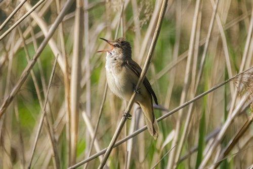 Birders behold: Cornell's Merlin app is now a one-stop shop for bird identification