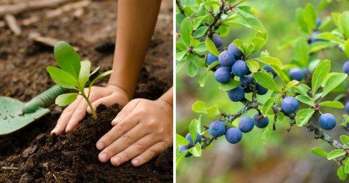 Comment planter un prunellier pour attirer les pollinisateurs ? 4 conseils à ne pas négliger.