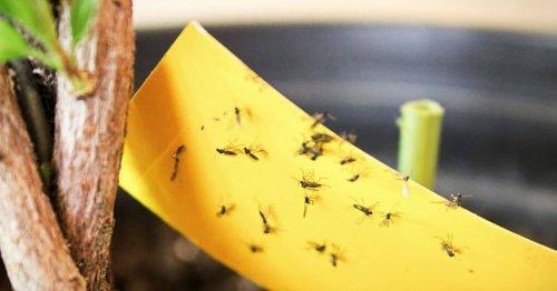 Moucherons : 7 astuces simples et naturelles pour s'en débarrasser