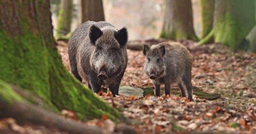 Sanglier, loup, lynx, ours… : voici comment réagir si vous croisez un animal sauvage