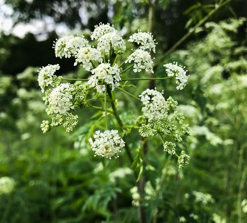 Pennsylvania pests: Deadly poison hemlock re-emerging; Officials on lookout for spotted lanternfly compliance