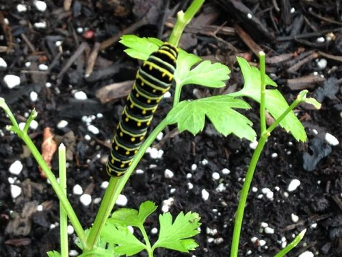 Grow parsley for flavor — and swallowtail butterflies!