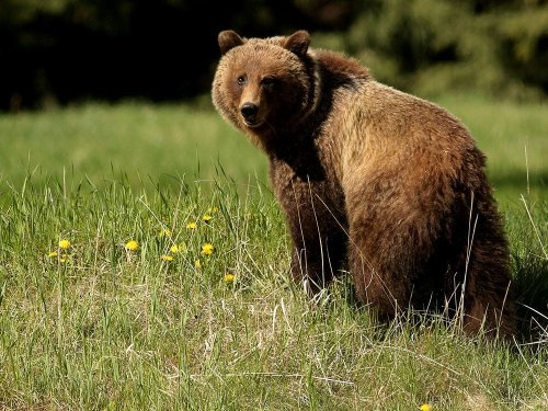 Man injured by grizzly bear in Kananaskis Country