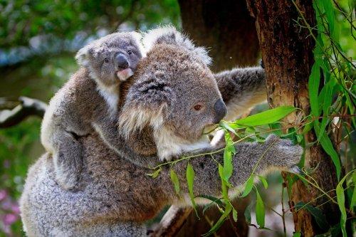 Cette IA aide à préserver les koalas menacés d'extinction