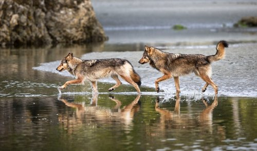Images of Canada's coastal wolves help promote ocean conservation efforts