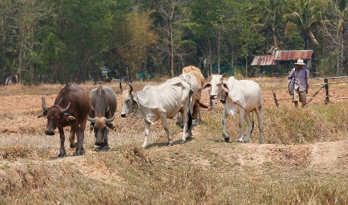In Thailand, you could win a free cow with a COVID jab
