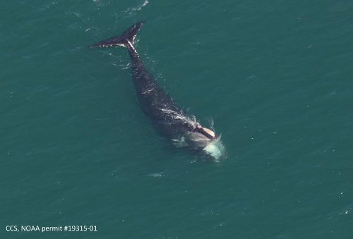 With A Drone and Patience, Scientists Track Endangered Right Whale in Cape Cod Bay