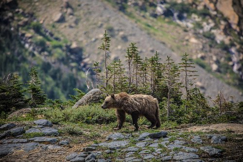 Why A Montana Bill Making It Easier To Kill Grizzly Bears Could Backfire