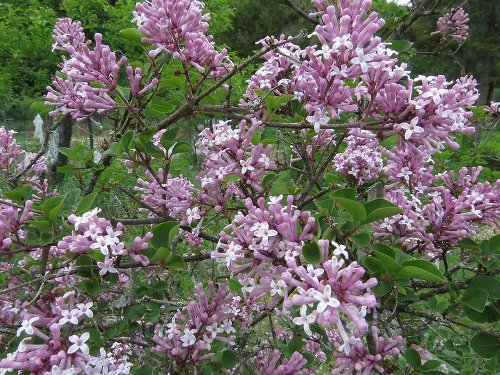 Connecticut Garden Journal: Lilac Care
