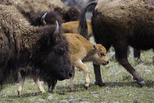 Gianforte Scraps Plan For Free-Roaming Bison