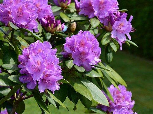 Connecticut Garden Journal: Rhododendrons