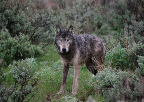 Oregon counts more gray wolves in 2020, but concerns for their safety abound