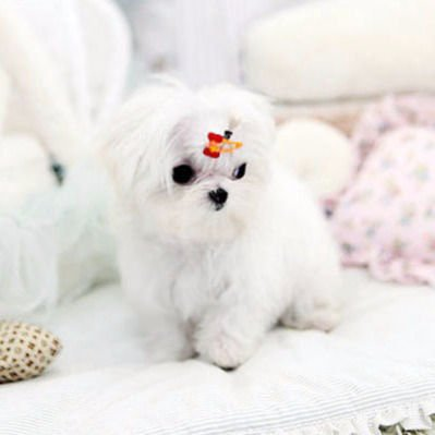 Richards Teacup Puppies for Sale - Buy teacup puppies Online - cover