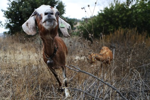 Hundreds of goats enlisted in wildfire prevention efforts