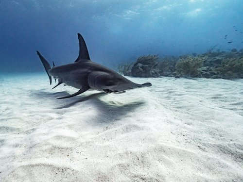 WATCH: Hammerhead sharks make their way up to the Pensacola shoreline