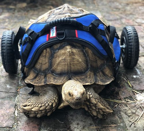 WATCH: Giant disabled tortoise takes very first steps with custom wheelchair