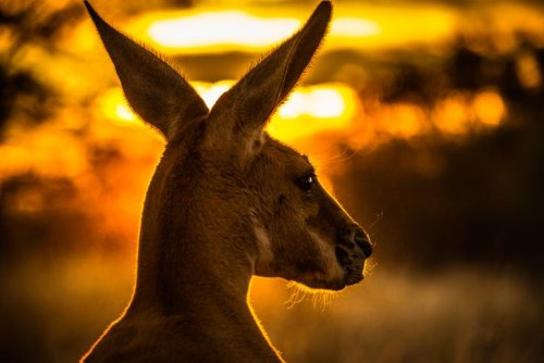 WATCH: Extremely muscular kangaroo flaunts buff biceps: 'Those are strong arms'