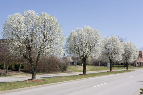 Missouri task force wants to buy your 'foul-smelling' Bradford pear trees